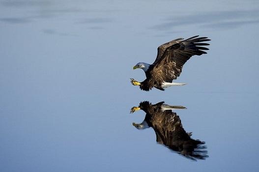 Un'aquila vola in picchiata su uno specchio d'acqua: altezza vertiginosa che si fa concretezza