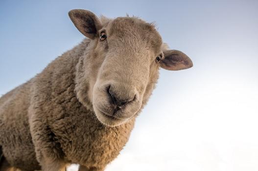 Le pecore non sono animali che brillano per intelligenza, hanno la tendenza a intrupparsi e a perdersi in un bicchier d'acqua. Hanno però una caratteristica importante e cioè sanno riconoscere la voce del guardiano che le conduce fuori dal recinto, verso i pascoli che danno nutrimento. Sanno riconoscere l'essenziale e vivono di questo.